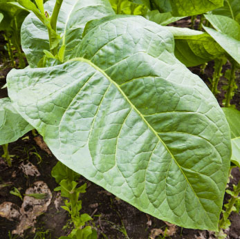 Similar Galleries: Tobacco Leaf Clip Art , Tobacco Leaf Vector ,