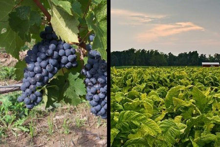 Vineyard Grapes and Tobacco Field